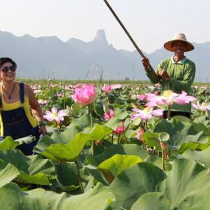 Field Of Sacred Lotuses Bloom For First Time In A Decade