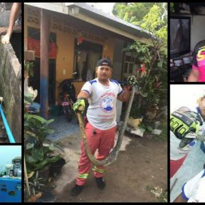 Phuket snake-catchers get busy