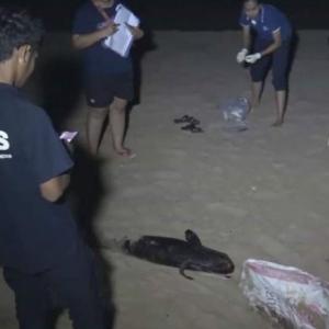 Carcass of finless porpoise found on Prachuap Khiri Khan beach