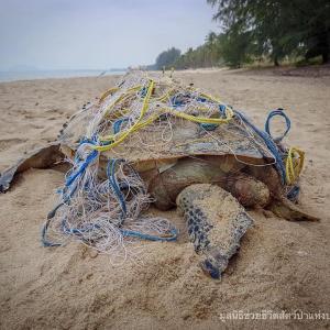 Sea turtle dies after getting tangled in a fishing net – Prachuap Khiri Khan