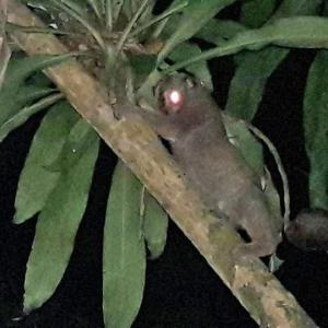 Slow loris released back into Phuket forest