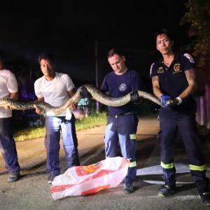 Four metre python caught in Koh Kaew, Phuket