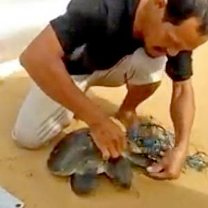 Phuket villager braves the surf to rescue tangled turtle