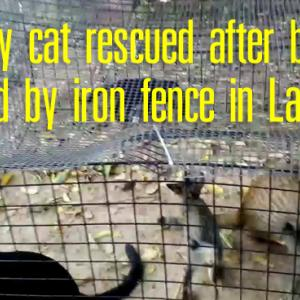 Stray cat rescued after being pierced by iron fence in Lampang