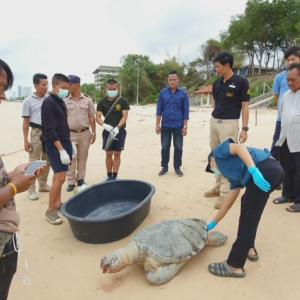 9th dead sea turtle found this year in Sattahip