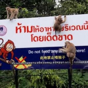 Concerns raised again over Phuket wild monkey populations